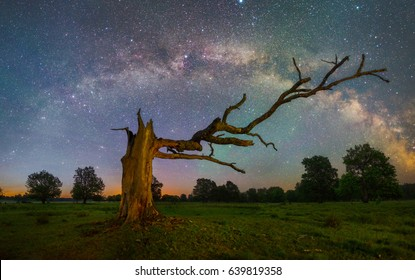 Milky Way arc over old tree