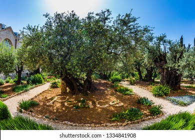 Millennial olives grow under the hot autumn sun. Gethsemane Garden on the Mount of Olives in Jerusalem. The concept of historical, religious and ethnographic tourism.