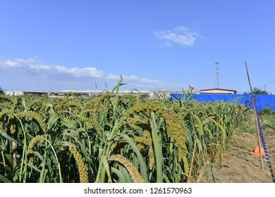 Millet in outdoor