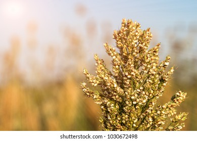 Millet or Sorghum an important cereal crop in field, Sorghum a widely cultivated cereal native to warm regions. It is a major source of grain and of feed for livestock