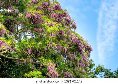 Millettia brandisiana is a perennial plant in the bean family. Purple flowers blooming on the Son Tra peninsula, Da Nang, Vietnam