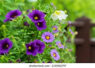 Million Bells colorful petunias