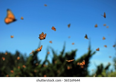 Millions of monarch butterfly flying in Rosario, Mexico