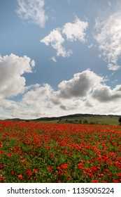 Millions of poppies in a wildflower field in the hills of Tuscany near Pienza Italy