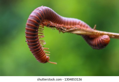 Millipede Closeup, Beautiful for Wallpaper and Other. Dramatic Millipede