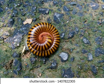 Millipede curled up in a circle on the road. It curled up to protect itself. Millipedes are found in the rainy season of Thailand because they like moisture. Phrae Thailand.
