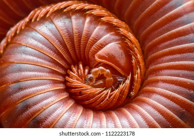 Millipede in nature.