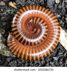 millipede protect itself