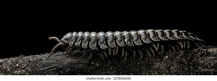 Millipede a small tropical athropode millipedes have one thousand leggs crawling at night in the Amazon rain forest