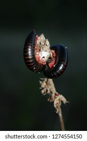 Millipede wrapped around a plant stalk, climbing millipede, natural behaviour, South Africa