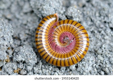 Millipedes is an arthropod that has two pairs of legs per segment. Millipedes are an order of invertebrates belonging to the phylum Arthropoda, class Myriapoda. Diplopoda. Circular form.