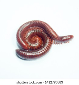 Millipedes are breeding on a white background.