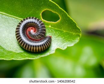 Millipedes curled into spiral on green leaves in Deep tropical forest of thailand .Millipedes are the names of many invertebrates. With a hard shell Long body divided into segments.