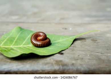 Millipedes on leaves (Focus on millipedes)