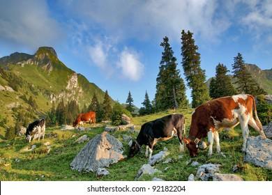 millkcow, cattle family