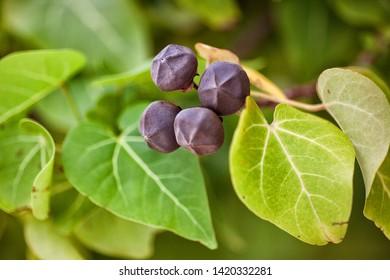 "Milo (Thespesia populnea) trees. These nuts are produced by the Portia Tree or ""milo"" and are usually found along coastal areas. Maldives."