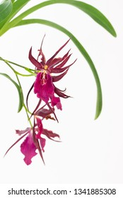 Miltassia Royal Robe orchid on white background