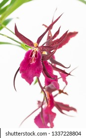 Miltassia Royal Robe orchids on white background