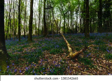 Milton Abbas Woods full of Bluebells in April