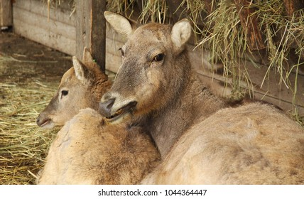 the milu deer female with its youngster (Elaphurus davidianus)