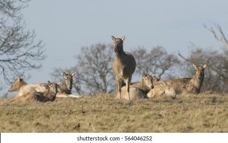 Milu Deer also known as Pére David's Deer, (Elaphurus davidianus).