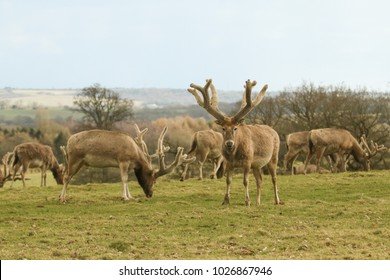 Milu Deer also known as Pere David's Deer) (Elaphurus davidianus) grazing on the top of a hill.