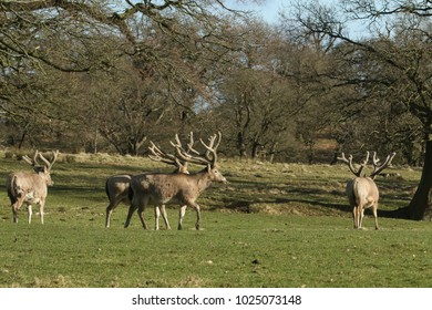 Milu Deer also lnown as Pere David's Deer) (Elaphurus davidianus) grazing in a field at the edge of woodland.