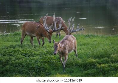Milu Deer - Pere Davids Deer