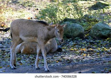 Milu (Elaphurus davidianus), also know as Père David's deer