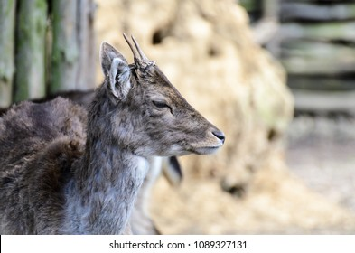 Milu (Elaphurus davidianus). Young deer with antlers, portrait photo with a blurred background. In the background a fence from a felled tree.
