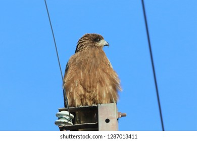 Milvus migrans of birds of prey searching for bait in territory