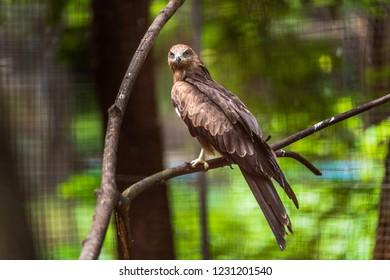 Milvus migrans culture in the zoo