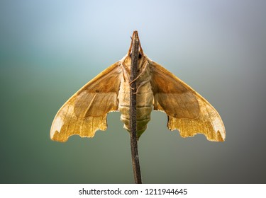 Mimas tiliae, the lime hawk-moth, is a moth of the family Sphingidae. Moth with outstretched wings early in the morning sitting on the shank fracture. Bottom view.