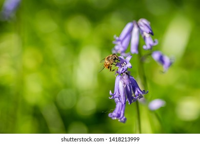 Mimic bee collection nectar pollen from wild bluebells