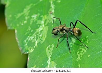 Mimic black ant spider on leaf