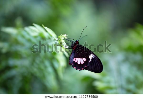 Sưu tập Bộ cánh vẩy 2 - Page 59 Mimic-kite-swallowtail-butterfly-mimoides-600w-1129734500