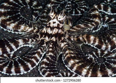 mimic octopus in lembeh strait