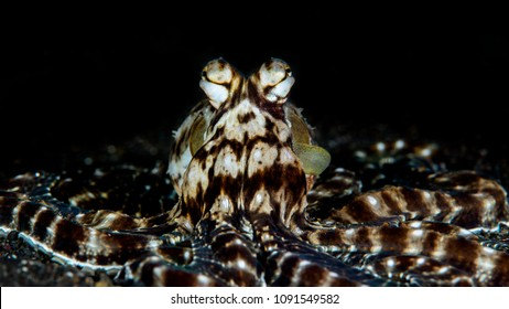 mimic octopus in night dive at lembeh, Indonesia