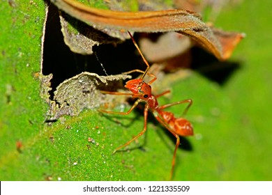 Mimic red ant spider