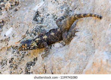 Mimicry of Agama lizard Stellagama stellio  on rock