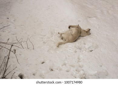 The mimicry of animals in winter. The white dog in the snow. The habits of the predator when searching for food in the cold season.