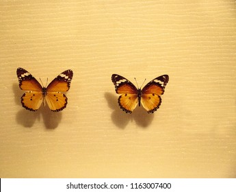 Mimicry in butterflies as seen with a comparison between Melinaea idea and Heliconius hecale