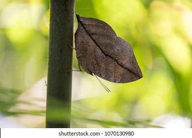 Mimicry butterfly, Kallima Paralekta, aka Indian leafwing, standing wings folded on a bamboo branch, dead leaf imitation, Malaysia