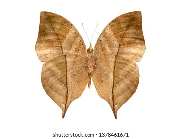 mimicry butterfly as a leaf