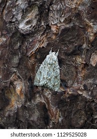 Mimicry in insects. A butterfly maple Lancet (Acronicta aceris) on a pine tree trunk