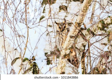 mimicry owl on the background of birch