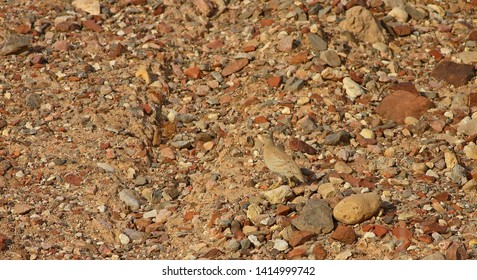 Mimicry with a sand partridge (Ammoperdix heyi) in the Holland Park, Israel