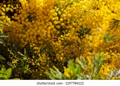 Mimosa (Acacia dealbata). Spring yellow mimosa flowers. Flower spring background, 8 March, Easter. Sun rays, backlight