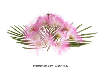 Mimosa Albizia julibrissin foliage and flowers isolated on white background