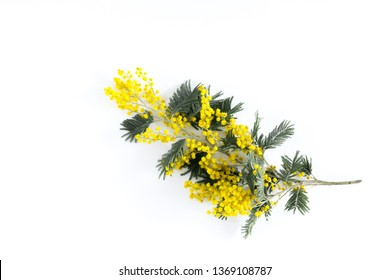 Mimosa branch isolated on white background. Flat lay, top view, copy space